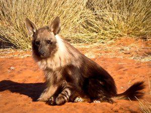 Brown Hyena cub (Credit: Gus Mills) | Khomani San